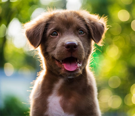 Smiling brown puppy