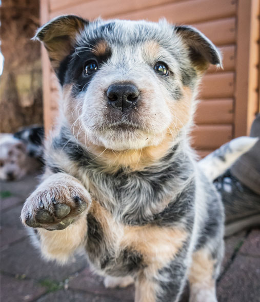 Small puppy reaching out with its paw